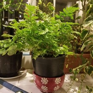 Leather leaf fern 🌿 live house plant